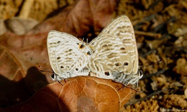 Mating butterflies, Udzungwa mountains, Tanzania. Photo copyright: David Bartholomew
