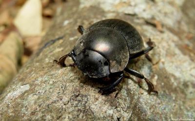 Dung beetle, Udzungwa mountains, Tanzania. Photo copyright: David Bartholomew