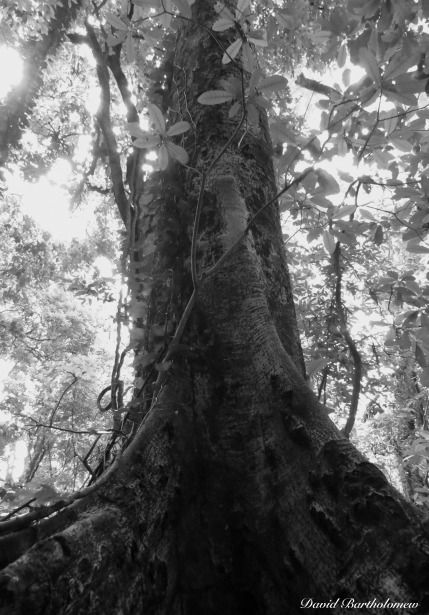 Tree with buttress roots, Udzungwa mountains, Tanzania. Photo copyright: David Bartholomew