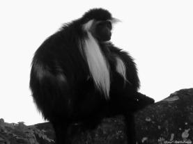 Angolan black and white colobus monkey, Udzungwa mountains, Tanzania. Photo copyright: David Bartholomew