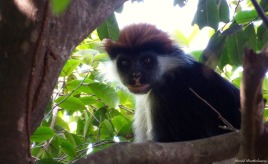 Iringa red colobus monkey, Udzungwa mountains, Tanzania. Photo copyright: David Bartholomew