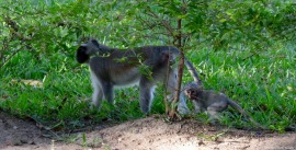 Black-faced vervet monkeys, Udzungwa mountains, Tanzania. Photo copyright: David Bartholomew