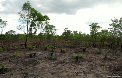 Miombo woodland logged for charcoal, Kilombero valley, Tanzania. Photo copyright: David Bartholomew