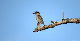 Striped kingfisher, Iluma, Tanzania. Photo copyright: David Bartholomew