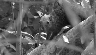 Red-bellied coast squirrel, Jozani forest, Zanzibar. Photo copyright: David Bartholomew