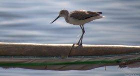 Marsh sandpiper, Matemwe beach, Zanzibar. Photo copyright: David Bartholomew