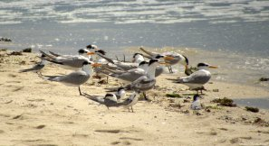 Lesser crested terns and Saunder's terns, Menai bay, Zanzibar. Photo copyright: David Bartholomew