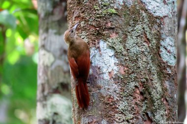 Buff-throated woodcreeper (Xiphorhynchus guttatus). Photo copyright: David Bartholomew