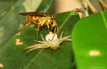 Wasp laying its eggs in a spider. Photo copyright: David Bartholomew