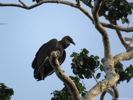 Black vulture (Coragyps atratus). Photo copyright: David Bartholomew