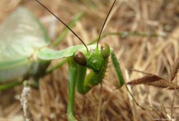 Praying mantis. Photo copyright: David Bartholomew