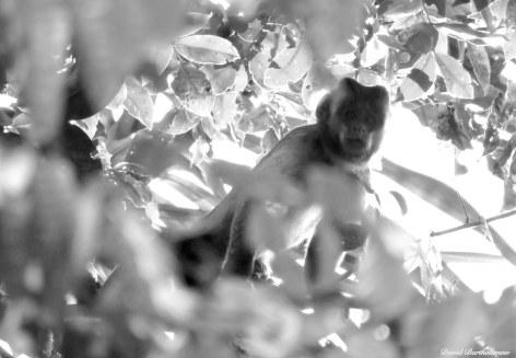 Capuchin monkey. Photo copyright: David Bartholomew
