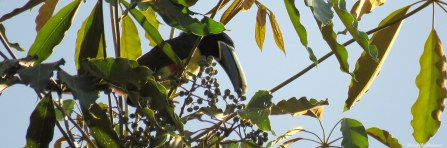 Black-necked aracari (Pteroglossus aracari). Photo copyright: David Bartholomew