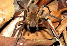 Tarantula, Caxiuanã National Forest, Para, Brazil. Photo copyright: David Bartholomew
