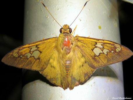 Moth, Caxiuanã National Forest, Para, Brazil. Photo copyright: David Bartholomew