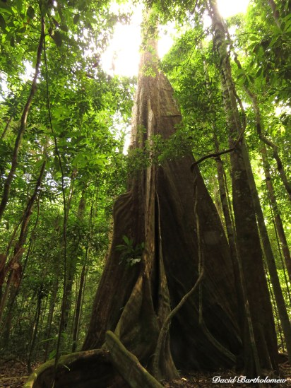 Tree with enormous buttress roots, Caxiuanã National Forest, Para, Brazil. Photo copyright: David Bartholomew