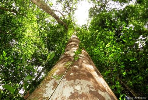 Giant tree, Caxiuanã National Forest, Para, Brazil. Photo copyright: David Bartholomew