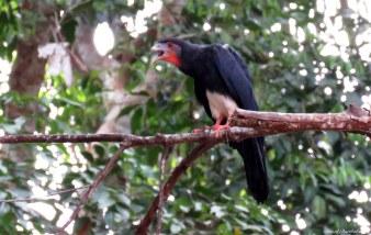 Red-throated caracara (Ibycter americanus). Photo copyright: David Bartholomew