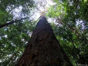 Giant tree in the seasonal Amazonian terra firme forest. Photo copyright: David Bartholomew