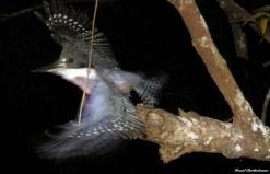 Ringed kingfisher (Megaceryle torquata). Photo copyright: David Bartholomew