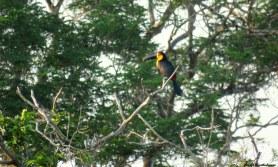 Channel-billed toucan (Ramphastos vitellinus). Photo copyright: David Bartholomew