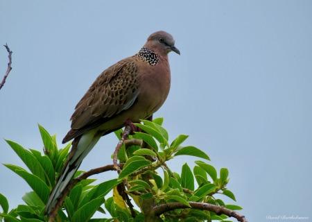 Spotted Dove (Streptopelia chinensis). Photo copyright: David Bartholomew