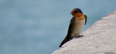 Barn Swallow (Hirundo rustica). Photo copyright: David Bartholomew