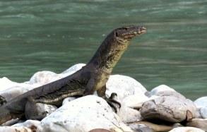 Asian water monitor lizard. Photo copyright: David Bartholomew