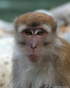 Long-tailed macaque. Photo copyright: David Bartholomew