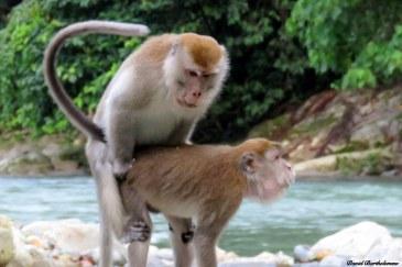 Long-tailed macaques mating. Photo copyright: David Bartholomew
