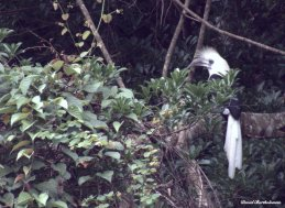 Oriental pied hornbill. Photo copyright: David Bartholomew