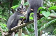 Thomas Leaf monkeys. Photo copyright: David Bartholomew
