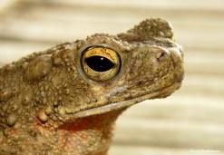 Toad. Photo copyright: David Bartholomew