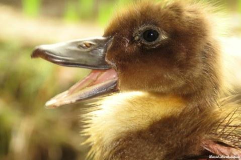 Domestic ducklings. Photo copyright: David Bartholomew