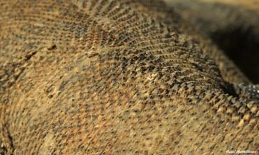 Komodo dragon, Komodo National Park, Indonesia. Photo copyright: David Bartholomew