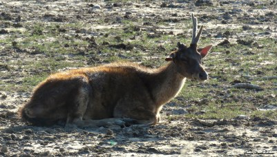 Timur deer, Komodo National Park, Indonesia. Photo copyright: David Bartholomew