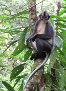 Thomas Leaf monkey. Photo copyright: David Bartholomew