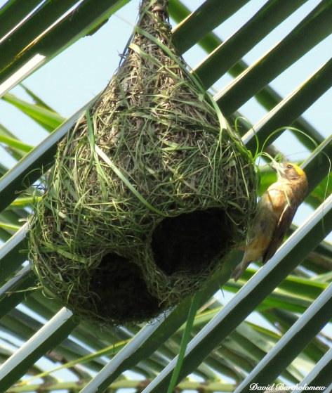 Weaver bird. Photo copyright: David Bartholomew
