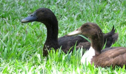 Domestic ducks. Photo copyright: David Bartholomew