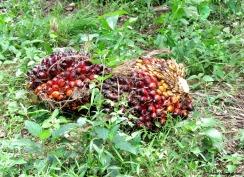 Palm fruit. Photo copyright: David Bartholomew