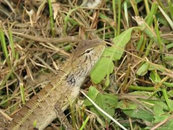 Lizard. Photo copyright: David Bartholomew