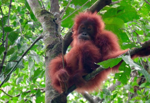 Juvenile wild Sumatran Orangutan at Batu Kapal. Photo copyright: David Bartholomew