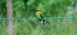 Chestnut-headed bee-eater, Pulau Langkawi, Malaysia. Photo copyright: David Bartholomew