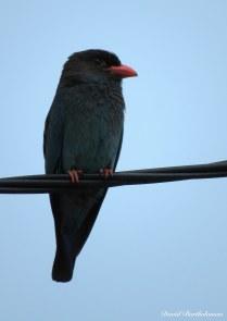 Dollarbird, Pulau Langkawi, Malaysia. Photo copyright: David Bartholomew
