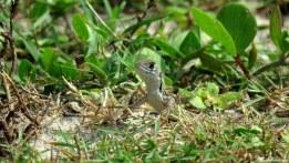 Lizard, Pulau Langkawi, Malaysia. Photo copyright: David Bartholomew
