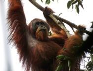 Male Sumatran orangutan. Gunung Leuser National Park, Sumatra, Indonesia. Photo copyright: David Bartholomew