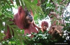 Mother and baby Sumatran orang-utans. Gunung Leuser National Park, Sumatra, Indonesia. Photo copyright: David Bartholomew