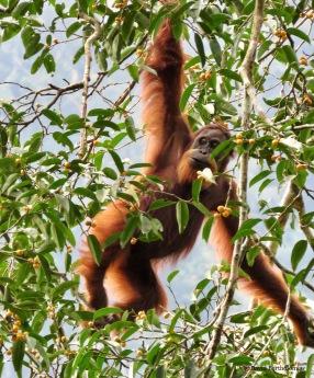 Female Sumatran orangutan. Gunung Leuser National Park, Sumatra, Indonesia. Photo copyright: David Bartholomew
