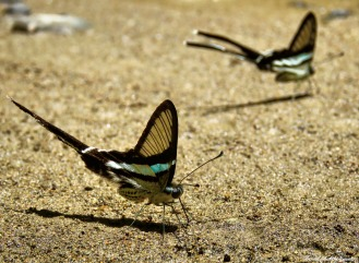 Butterflies licking up salts. Gunung Leuser National Park, Sumatra, Indonesia. Photo copyright: David Bartholomew