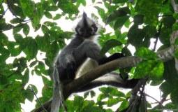 Thomas leaf monkey. Gunung Leuser National Park, Sumatra, Indonesia. Photo copyright: David Bartholomew